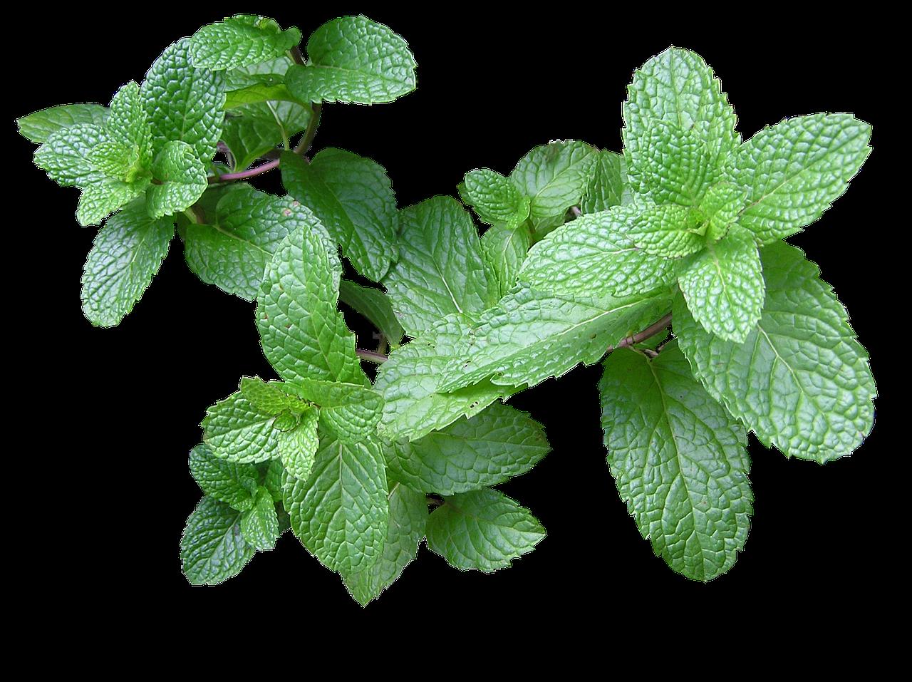 herb, mint, cut