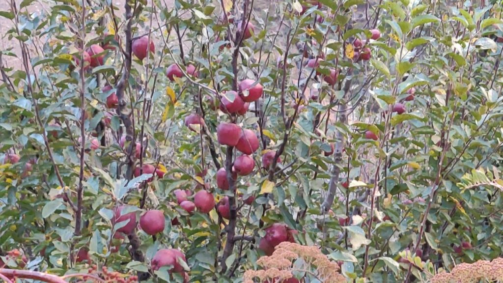 apple orchard in harsil valley gangotri national park